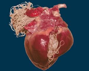 Влияние аскаридов на человеческие органы: сердце, печени, легкие, мозг