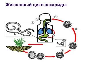 Жизненный цикл аскариды: как развивается личинка