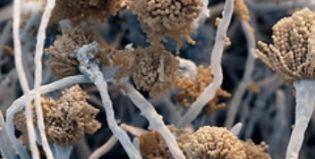 Каким опасностям подвергает аспергиллез, и как его лечить?