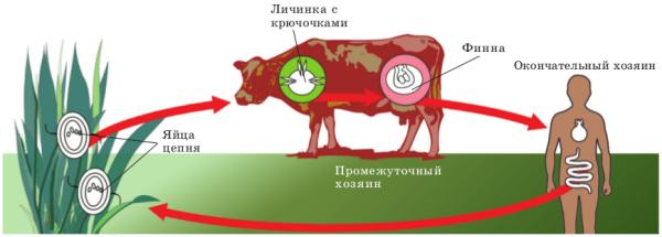 Жизненный цикл и строение бычьего цепня