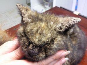 саркоптоз у кошек - симптомы, фото и лечение
