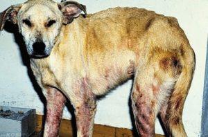 как лечить саркоптоз у кошек и собак (подкожный клещ) - симптомы, препараты, фото